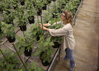 Nancy Brumley, Monsanto Soybean Plant Specialist, ties up a stalk of soybean in the soybean greenhouse at the Monsanto Research facility in Chesterfield, Missouri October 9, 2009.