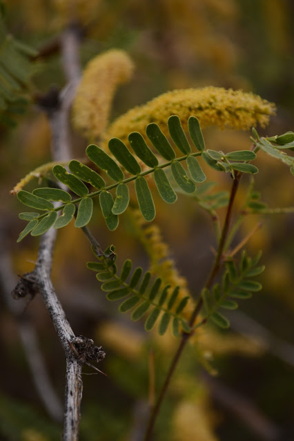prosopis velutina, foliage, mesquite, small sunny garden, amy myers, sonoran desert