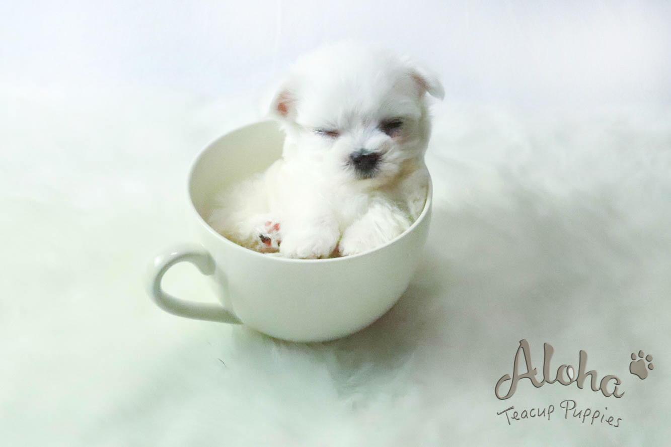 Sweet Teacup Maltese !! I'm in love with you  – Aloha Teacup