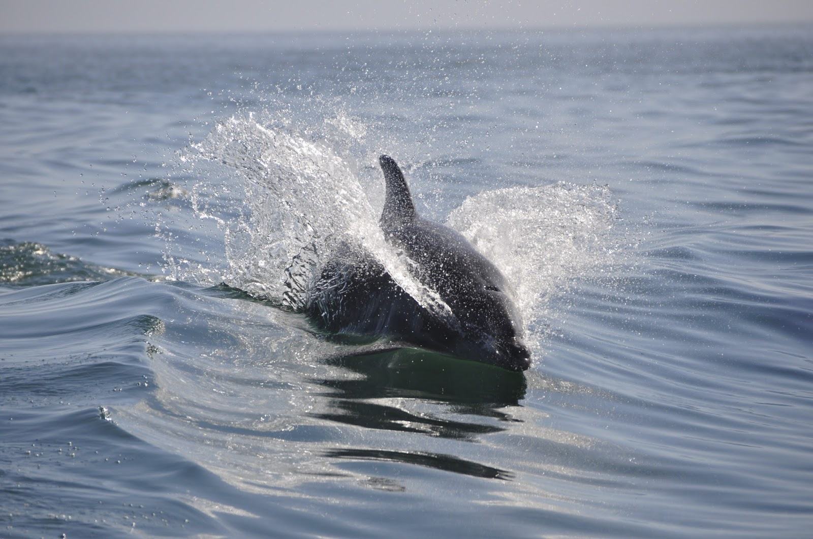 A dolphin swimming across the ocean.