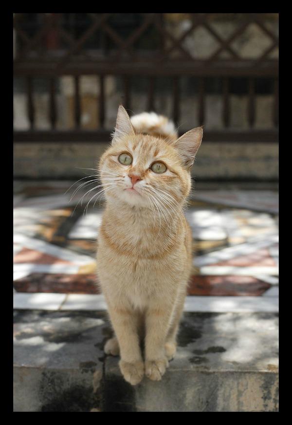 damascus cats
