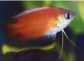 Gurami Thicklip ikan hias pemalu