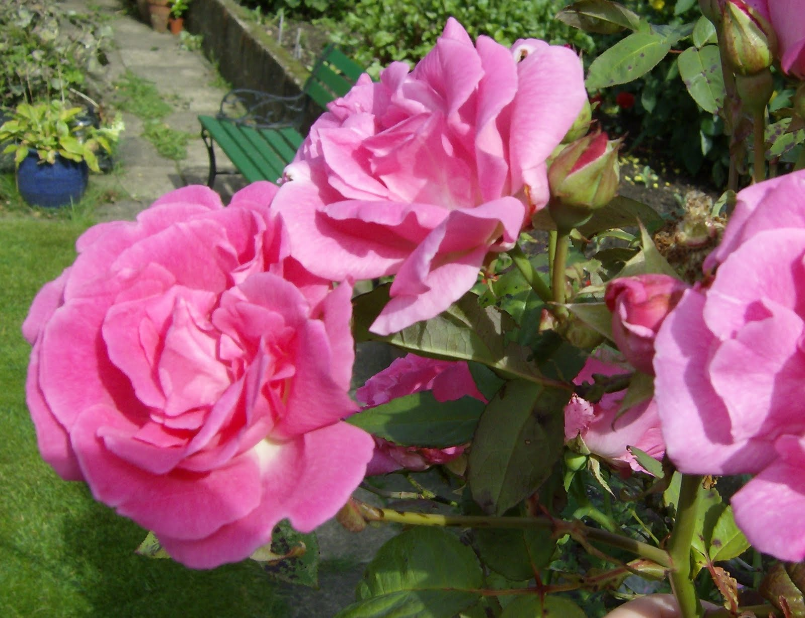 Zephirine Drouhin Climbing Rose love my garden: zephirine drouhin - the thornless rose