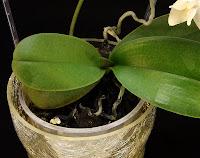 storczyk nowy liść