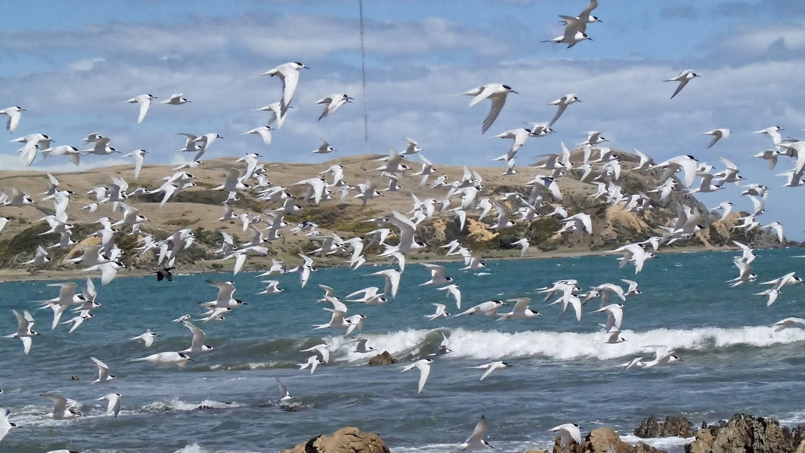 White fronted terns taking off from the rocks at Plimmerton