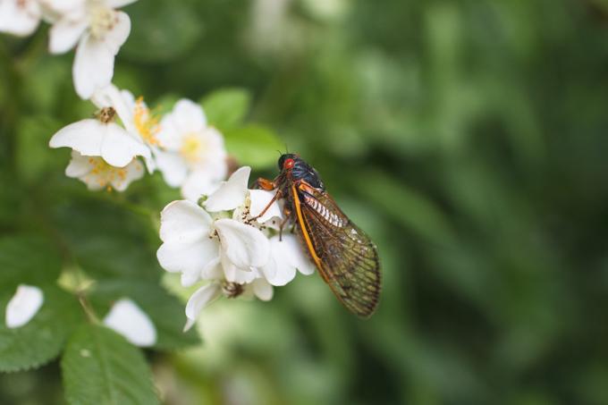 cicada, brood v