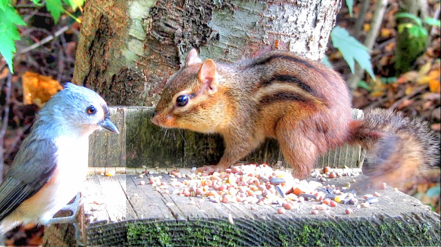 Chipmunk Versus Tufted Titmouse