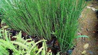 Jual Tanaman Bambu Air,Jual Tanaman Hias Bambu Air,Jual Pohon Bambu Air Murah,Jasa Tukang Taman Bogor