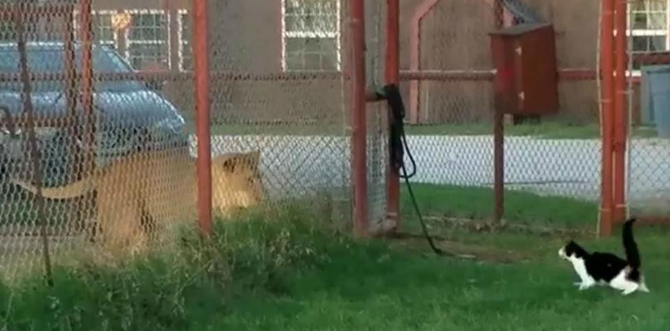 Kucing Nekat Ajak Singa Bertarung Jadi Viral, Siapa Menang?
