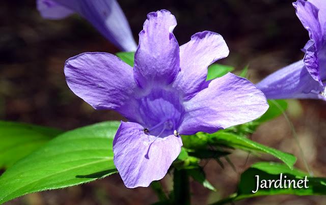 Barléria, Violeta-filipina - Barleria cristata