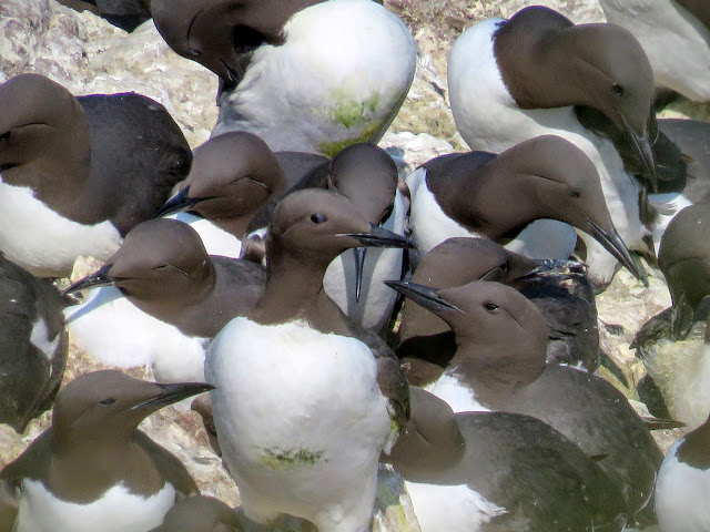 Day trip to Ireland's Eye Island - guillemots on a rock