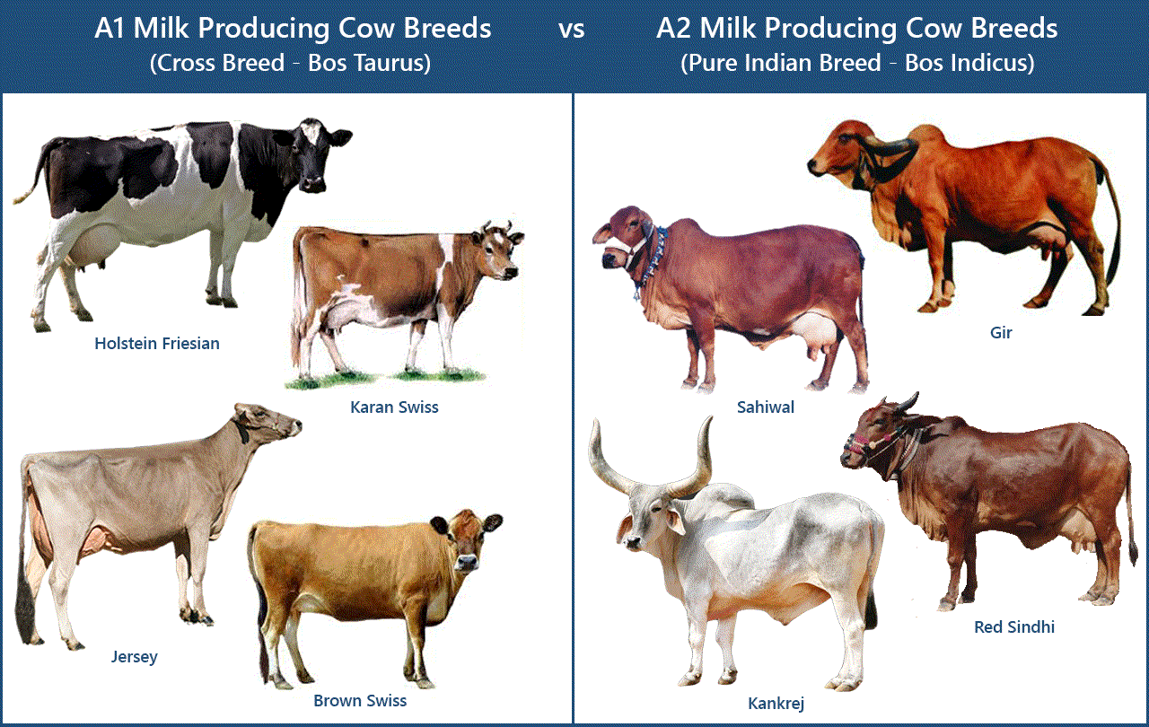 What is Type A1 MILK & Associated Problems?