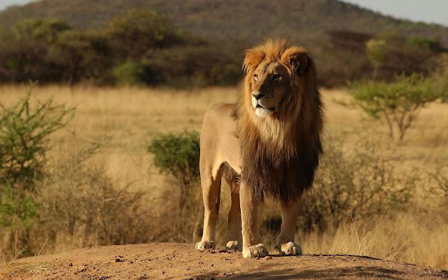 Foto van een leeuw in zijn natuurlijke omgeving