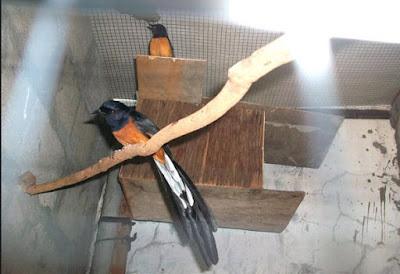 List/Harga Terbaru Glodok Burung Kicau Saat Ini Dan Terlengkap