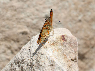 Mating butterflies on a rock in the sun