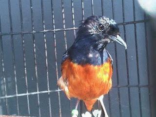 Burung Murai Batu - Penyebab Burung Murai Batu Tidak Tuntas Dalam Proses Mabungnya - Penangkaran Burung Murai Batu