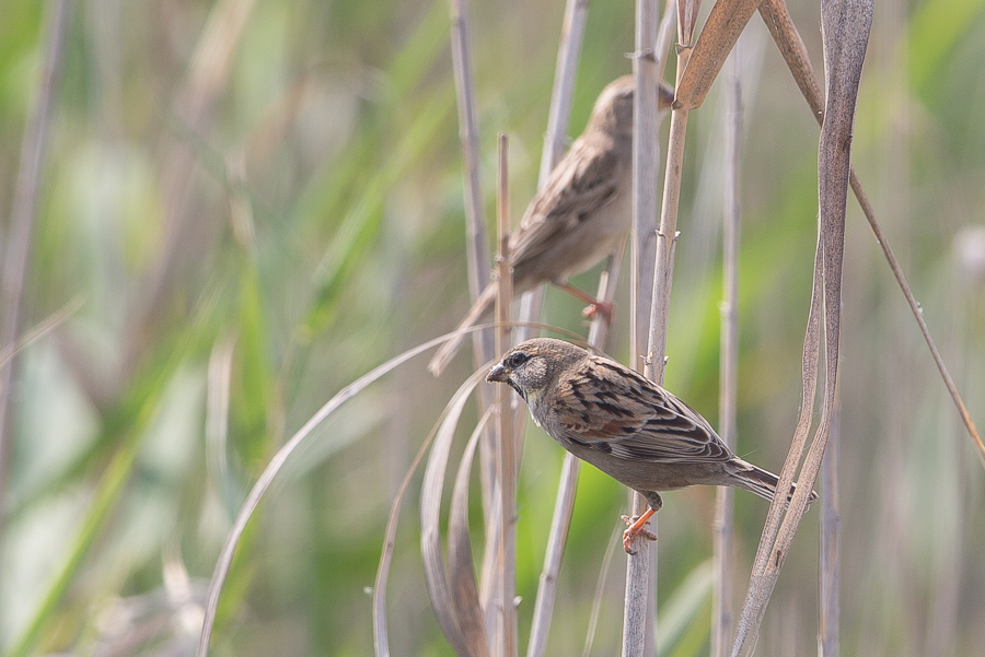 Dead Sea Sparrows still present – Jubail