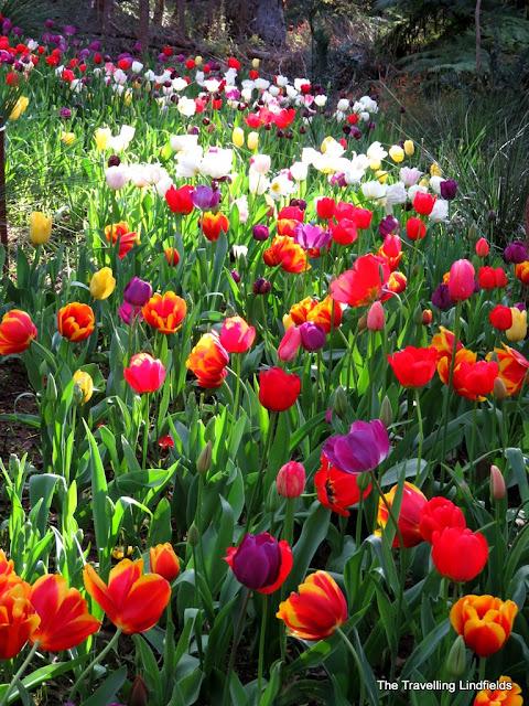 Tulips at Araluen Botanic Park
