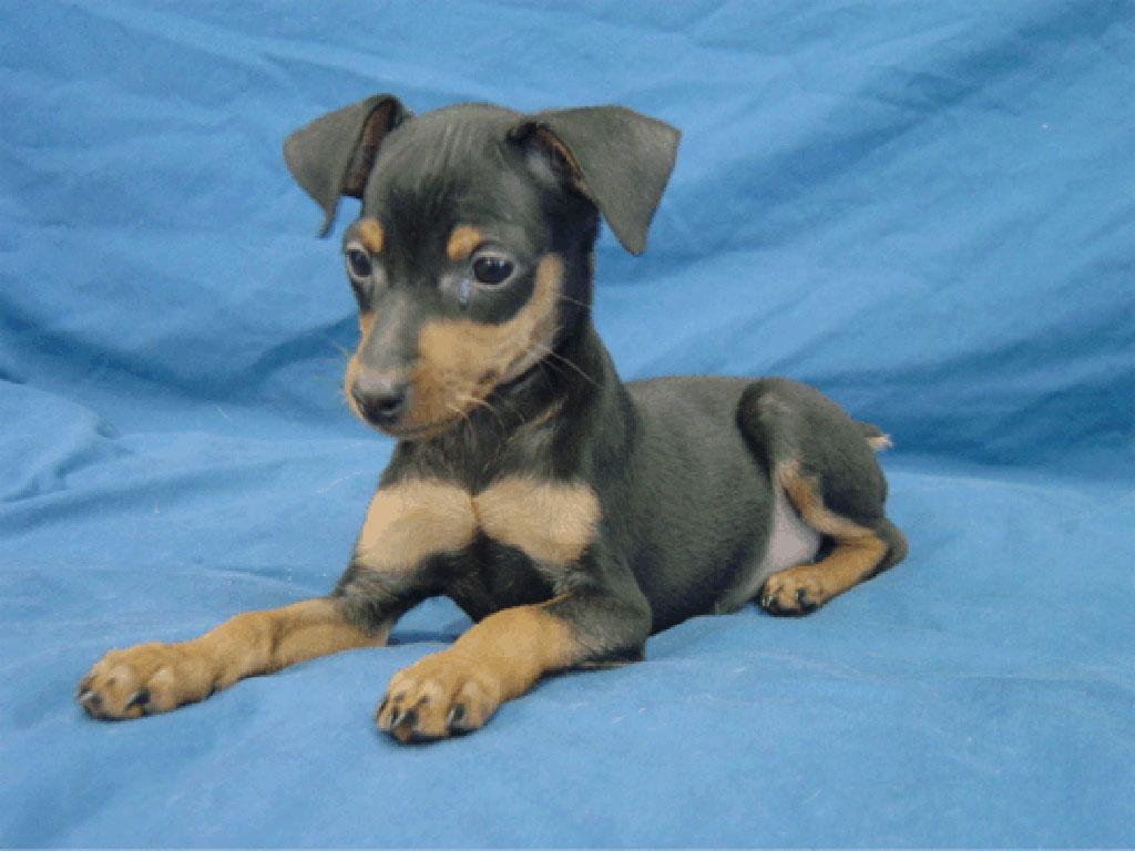 pin miniature pinscher pup -#main