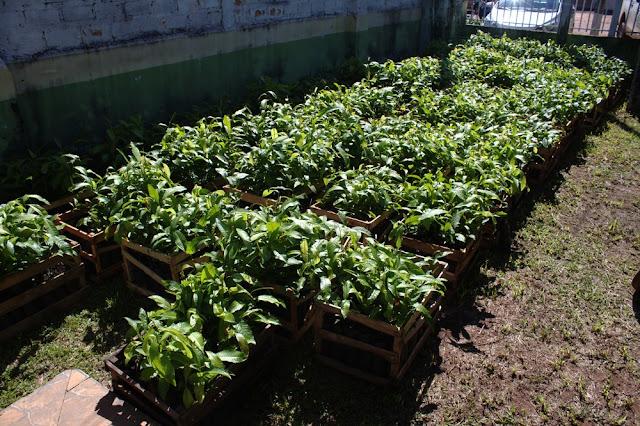 Mudas de castanha são entregues a extrativistas em programa de economia sustentável