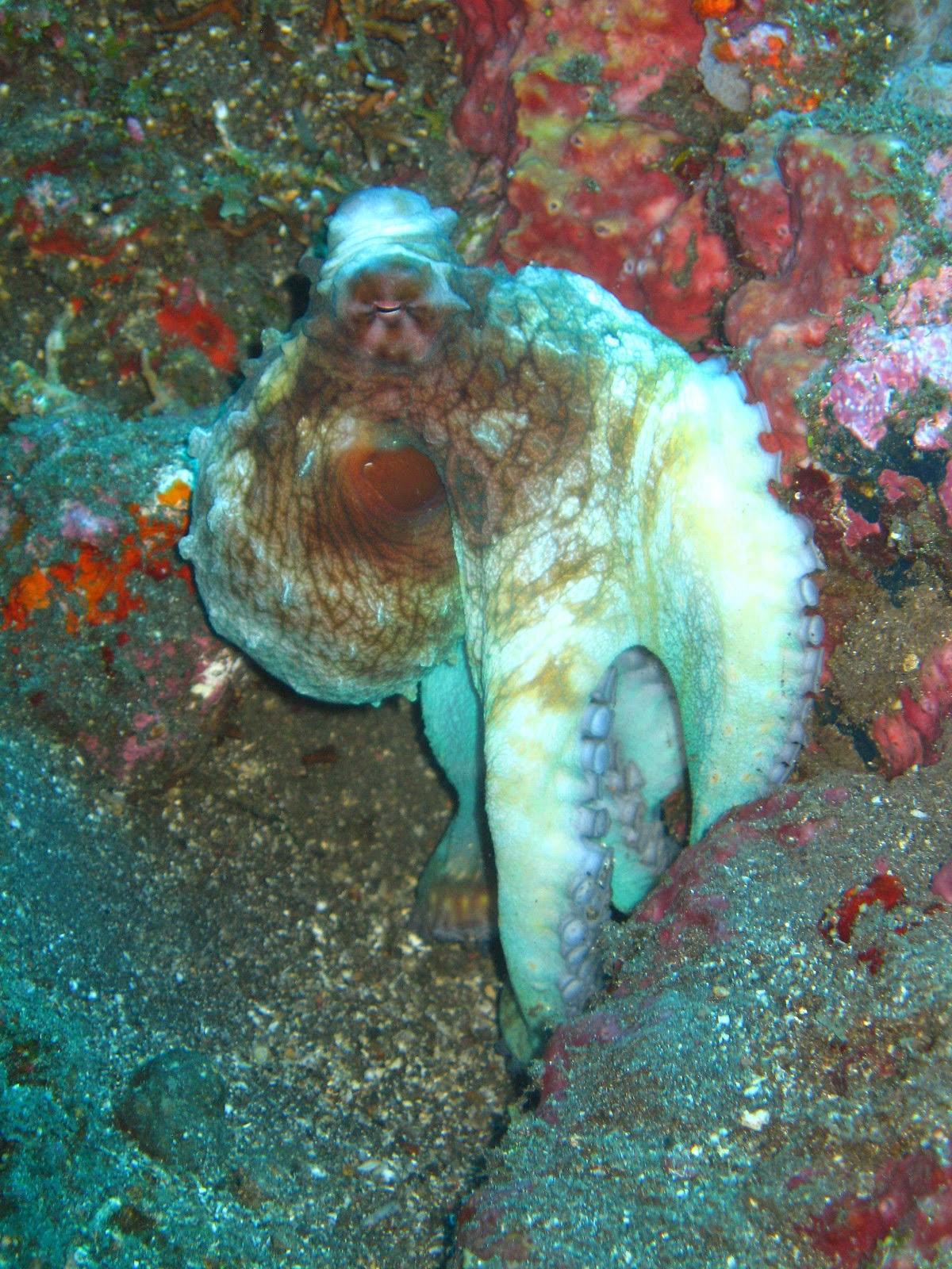 auge tintenfisch und wirbeltier