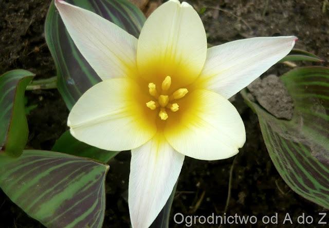 Tulipa 'Johann Strauss'