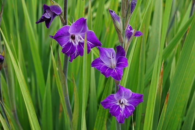 hoa lay ơn đẹp nhất 10