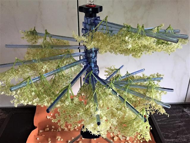 Holunderblütendolden zum Trocknen aufgehängt