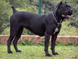 Cane Corso-pets-dog breeds