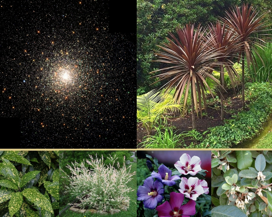 Aucuba japonic, Cordyline indivisa 'Red Star', Eleagnus ebbingei, Hibiscus syriacus, Salix integra 'Hakuro Nishiki'