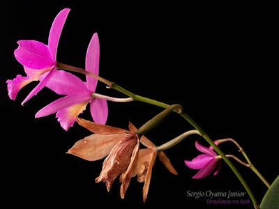 Laeliocattleya Pink Favourite