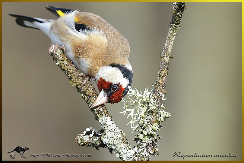 Smile for the European goldfinch!