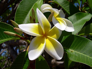 deskripsi bunga kamboja