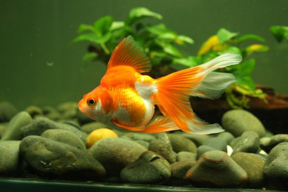 đá cuội trong bể thủy sinh nuôi cá vàng