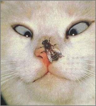 Imagenes locas: abeja molestosa con gatito gato