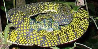 Spesies Ular Langka Ditemukan di Sumatera