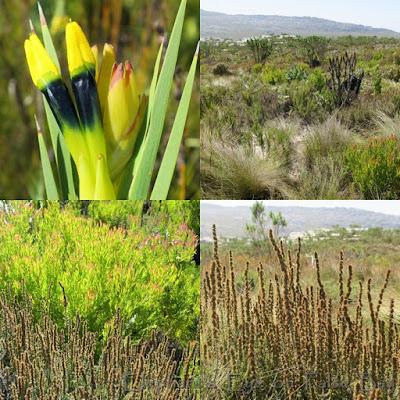 Silvermine Noordhoek Witsenia maura in April