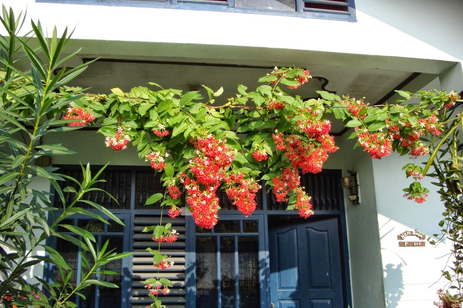 Jual pohon melati belanda | tanaman hias | jasa tukang taman