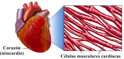 Corazón: fibras musculares en la pared del corazón