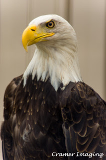 Cramer Imaging's professional quality nature photograph of an adult bald eagle bird in profile in Pocatello, Bannock, Idaho