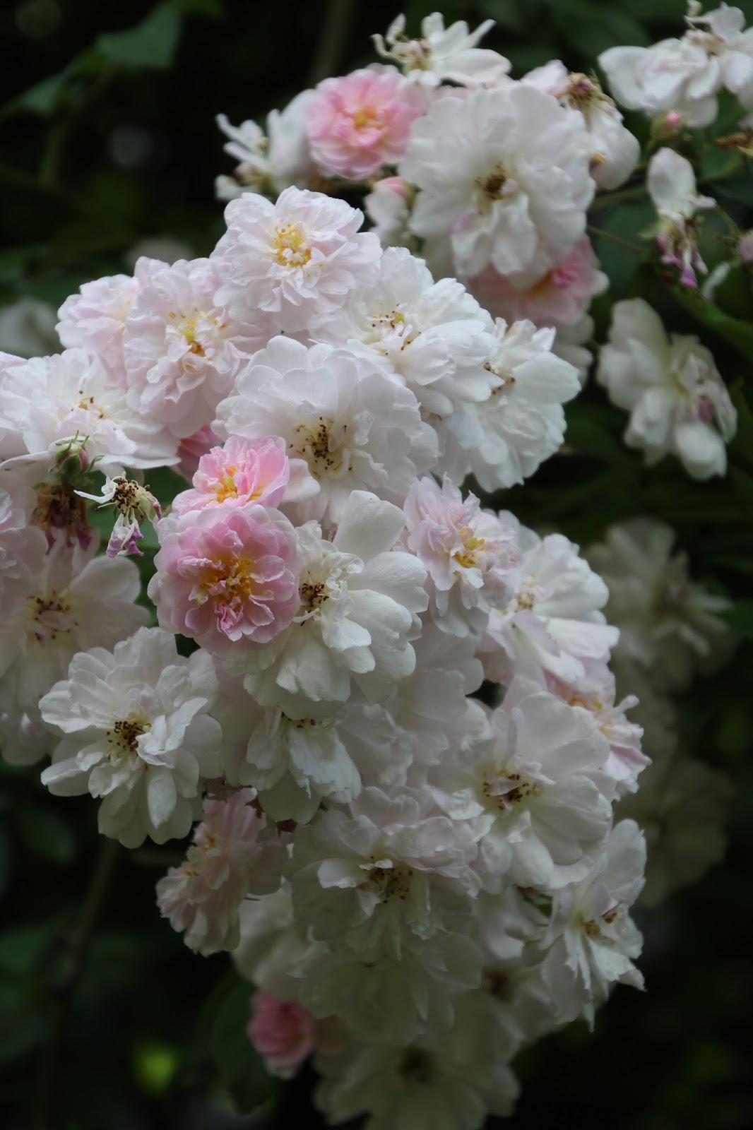 Klätterros Paul´s Himalayan Musk Hon som talar med blommor