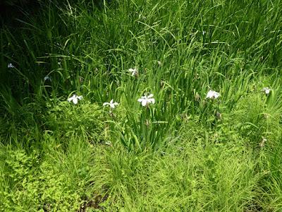 むろいけ園地 湿生花園 シロバナカキツバタ
