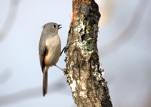 Tufted Titmouse on tree trunk