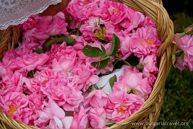 Rosa damascena de Bulgaria, Kazanlak, cosecha de la rosa, aceite de rosa, agua de rosa,