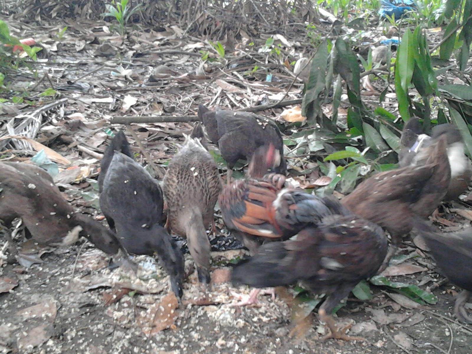 101 Gambar Bebek Sedang Makan Paling Keren