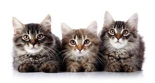 Tricobezoari o boli di pelo nel gatto