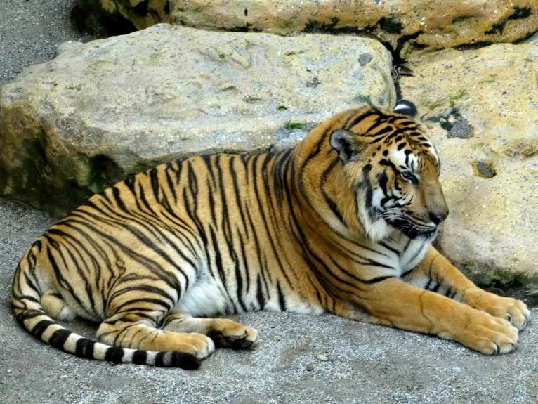Tigre-de-bengala, no Beto Carrero World.