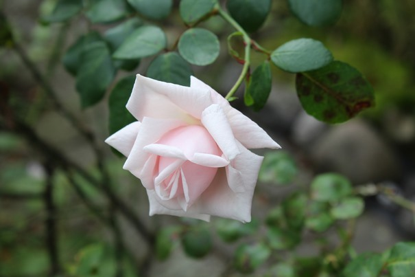 rosarote-rose