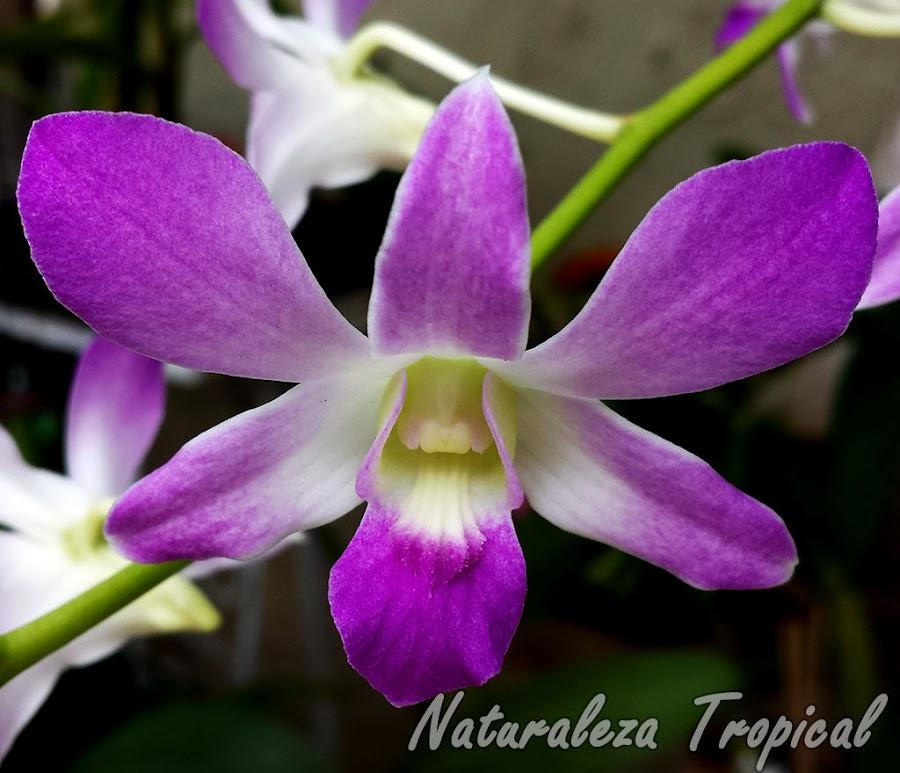 Flor de otra especie Dendrobium