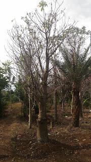 Jual pohon baobab harga paling murah